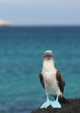 Blå footed booby Royaltyfri Bild