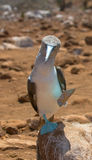 Blå-footed booby Royaltyfri Bild