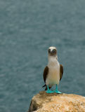 Blå-footed booby Arkivfoto