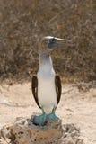 Blå-footed booby Fotografering för Bildbyråer