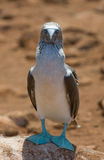 Blå-footed booby Royaltyfria Bilder
