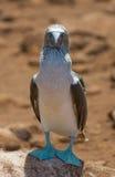 Blå-footed booby Royaltyfria Bilder