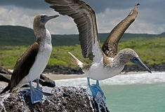 Blå-footed booby 5 Arkivbild