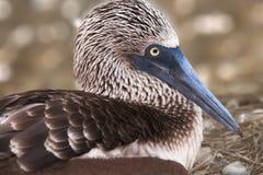 Blå Footed Booby, Galapagos, Ecuador Royaltyfria Bilder