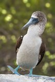 Blå Footed Booby, Galapagos, Ecuador Royaltyfri Foto