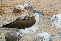Blå Footed Booby med en fågelunge Arkivfoton