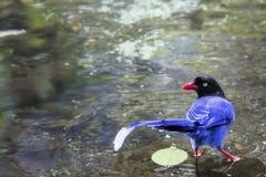 blå formosan skata Arkivfoton