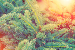 Blå frunch för granträd Fotografering för Bildbyråer