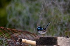 Blå gärdsmygfågel som placerar på en gammal stolpe arkivfoto