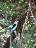 blå gådd mot kingfisher Royaltyfria Foton