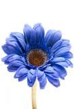 blå gerbera Arkivfoto