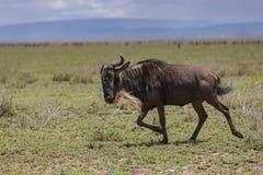 Blå gnu i Serengetien Arkivfoto