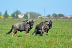 Blå gnu i stäppen i den Falz-Fein biosfärreserven Royaltyfri Fotografi