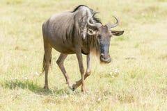 Blå gnu i Tanzania Arkivfoton