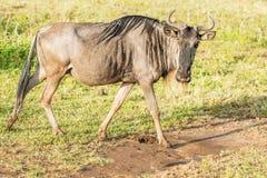 Blå gnu i Tanzania Royaltyfria Bilder