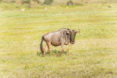 Blå gnu i Tanzania Royaltyfri Foto