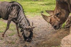 Blå gnu och noshörning Arkivbild