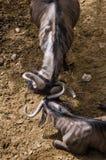Blå gnu som spelar med dess horn Arkivbilder