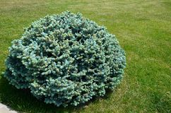 Blå gran för buske på grön gräsmatta på en solig dag arkivfoto