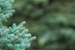 Blå gran i skogen Royaltyfri Bild
