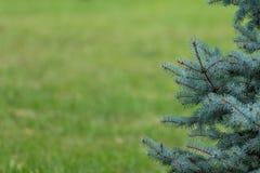 Blå gran och grönt gräs Royaltyfri Fotografi