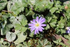 Blå Grecian Windflower - Anemone Blanda fotografering för bildbyråer
