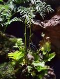 Blå groda för jordgubbegiftpil Royaltyfri Foto
