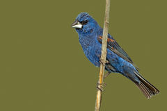 blå grosbeak Royaltyfria Foton
