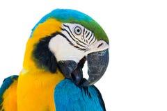 Blå gul isolerad papegojaara Arkivfoto