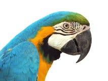 blå guldmacaw Arkivfoto