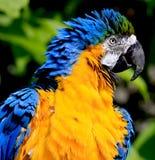 blå guldmacaw Royaltyfria Bilder