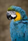 blå guldmacaw Royaltyfri Bild