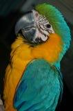 blå guldmacawpapegoja Royaltyfri Foto