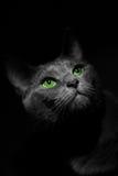 Blå gullig katt för ryss arkivbilder