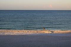 Blå häger på en strand i Florida arkivfoto