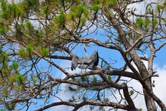 Blå häger på marsklan i Florida Royaltyfri Foto