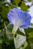 blå härlighetmorgon Arkivbild