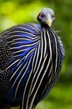 Blå höna Fotografering för Bildbyråer