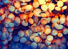 Blå höst för vanlig hortensiakronblad Arkivfoto