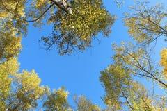 Blå hösthimmel som inramar de guld- sidorna på träden royaltyfri bild