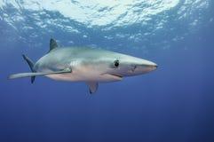blå haj royaltyfri fotografi