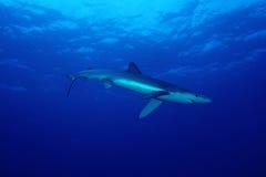 Blå haj (Prionaceglaucaen) Fotografering för Bildbyråer