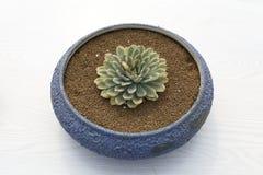Blå handfat av den meaty växten Royaltyfria Foton