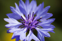 blå havreblomma Royaltyfri Foto