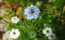 blå havreblomma Royaltyfria Bilder