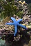 Blå havsstjärna laevigate Linkia Fotografering för Bildbyråer