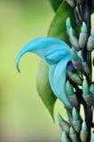 blå hawaii jade planterar vinen Royaltyfri Fotografi