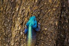 blå head ödla för agama arkivbilder