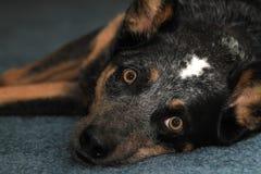Blå heelerhund på matta Arkivbild