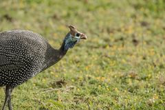 Blå helmeted guineafowl, Numidameleagris, Arkivfoton